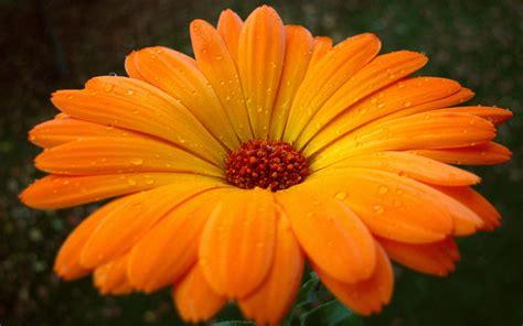 Orange Wallpaper Flower by Macro Flower Photography Wallpaper 5 Flower Wallpapers