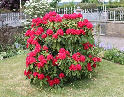 Rhododendron - GardenBanter.co.uk