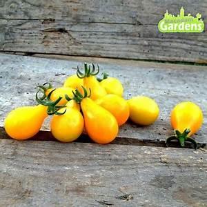 Plant Tomate Cerise : plant de tomate cerise snow white ~ Melissatoandfro.com Idées de Décoration