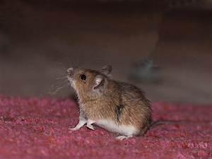 Maus Im Haus : maus im haus so wirst du sie auf eine tierliebe und effektive art und weise los ~ Buech-reservation.com Haus und Dekorationen