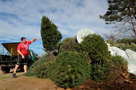 recycle christmas trees near me tree recycling offered throughout the st louis region metro stltoday