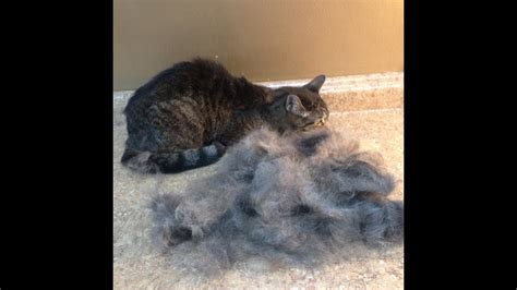how to get your cat to stop shedding shedding hair cats cat grooming solutions