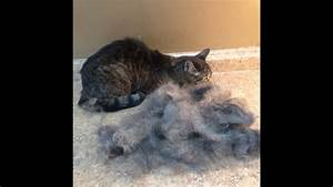Shedding  U0026 Short Hair Cats