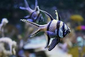 Banggai Cardinalfish Pterapogon kauderni for Sale