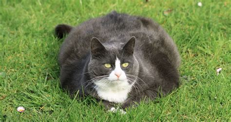 fat cats cat obesity obese know weight everyone issues briefs april week should pet national pets related