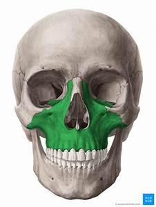 Maxilla  Anatomy  Function  Clinical Aspects