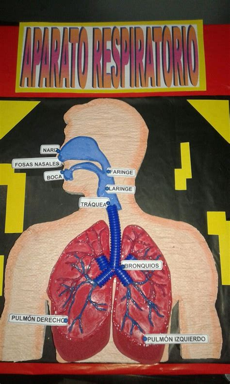 aparato respiratorio mis maquetas 2 fair projects respiratory system and homework