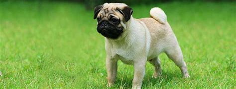 beautiful black pug dogs pictures  images