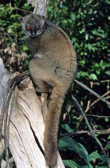 Lemur Wikipedia