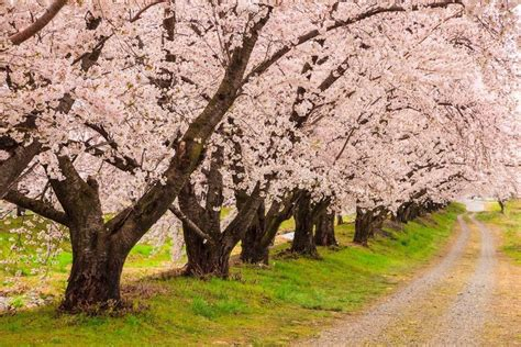 cherry blossom tree l cherry blossom flower trees latest hd wallpaper pictures