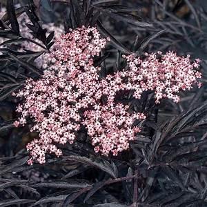 Purin De Sureau : sambucus nigra black lace eva sureau noir feuillage ~ Melissatoandfro.com Idées de Décoration