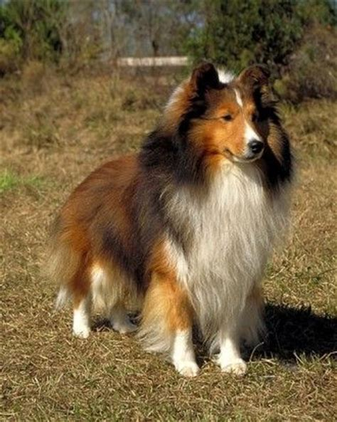 shetland sheepdog shed 121 best images about for the of shelties on