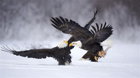 eagle eagle hd wallpapers eagle pictures eagle