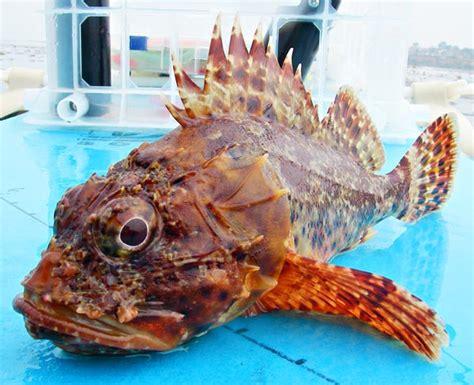 california scorpionfish grouper fish lionfish sculpin mexico fishing mexfish versus species