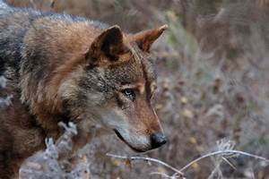 So U00f1ar Con Lobos Y Lobas  Sue U00f1os Con Cachorros Lobo