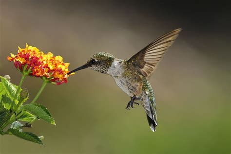 flowers that attract hummingbirds flowers to attract hummingbirds best choices