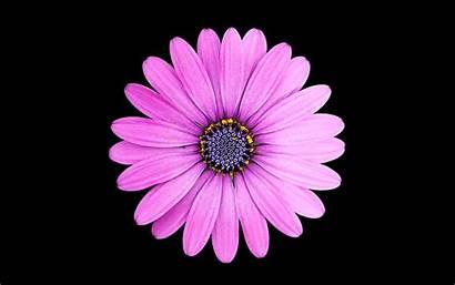 Daisy Purple Wallpapers Margarita