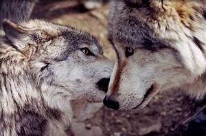 8 best images about wolf on Pinterest Wolves, Desktop