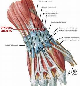 Extensor Tendons Of The Hand Hand Extensor Tendon Anatomy ...