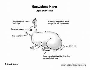 Hare  Snowshoe