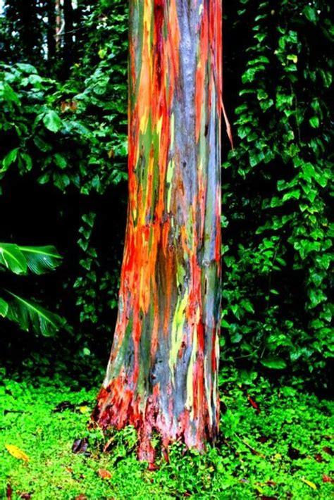 rainbow eucalyptus trees awesomeworlds