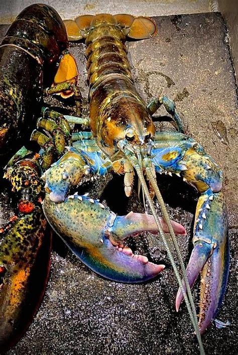 rainbow lobster landed