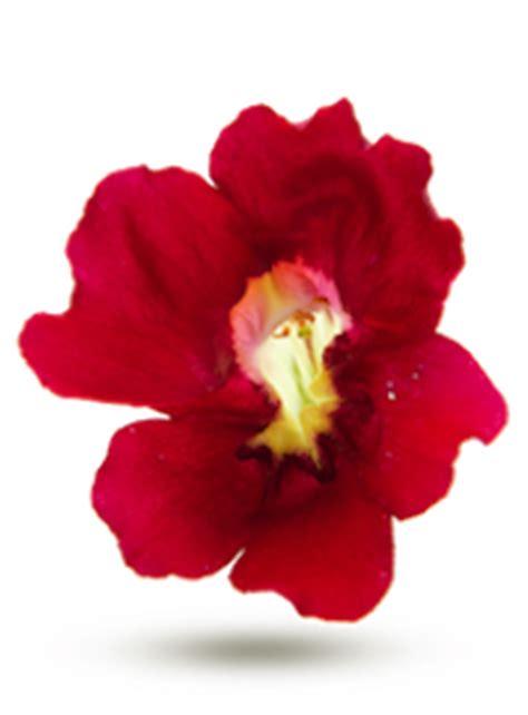 les fleurs comestibles en cuisine les fleurs comestibles fraicheurquebec com