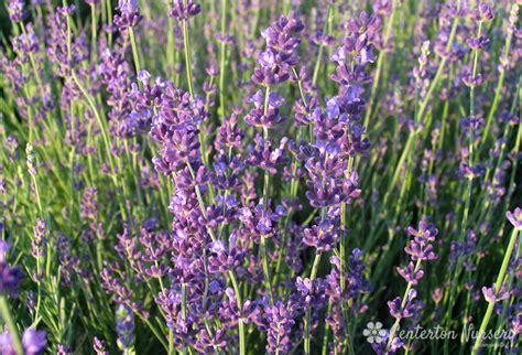 lavender plant height munstead lavender