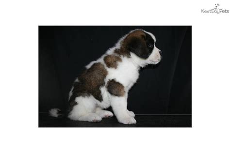 do smooth coat st bernards shed smooth coat bernard puppy breeds picture