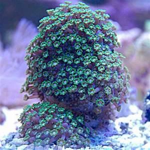 Alveopora Corals