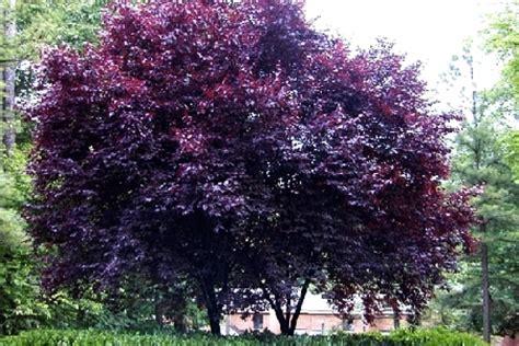 tree with purple leaves fsw open window