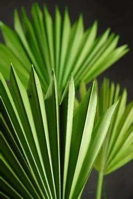 palms natural dried preserved artificial fronds