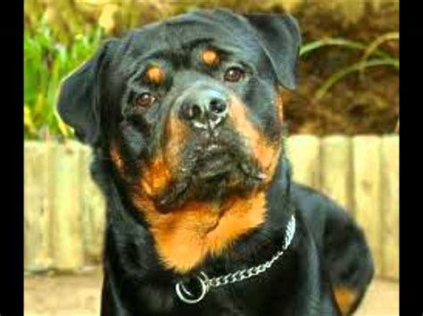Top 10 Most Loyal Dogs Doovi