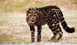 king cheetah cub | Captive cheetah at Cheetah Outreach ...