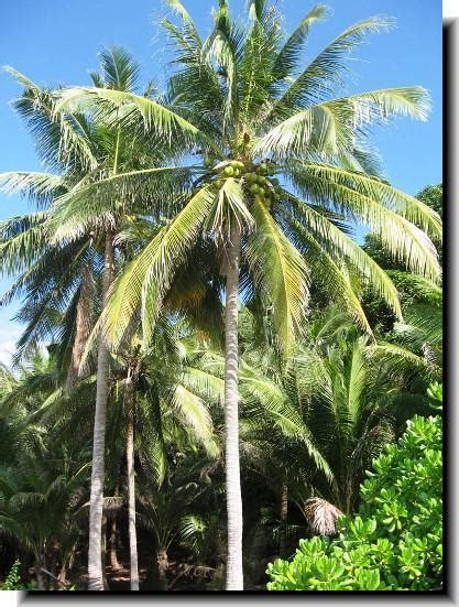Coconut Tree  Hd Wallpapers Pulse