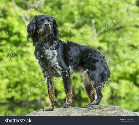 Multicolored French Brittany Spaniel Standing On A Rock ...