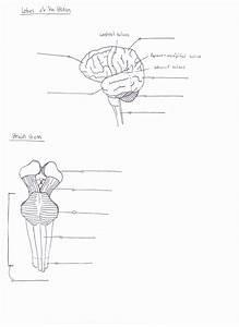 Blank Diagram Brain Stem