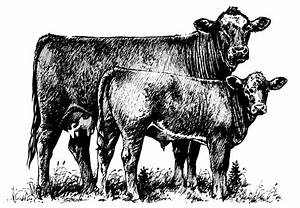 Beef clipart calf - Pencil and in color beef clipart calf