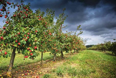 Wholesale Fruit Trees  Apple, Cherry, Apricot Kingsdown