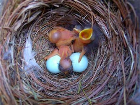 what color are bluebird eggs eastern bluebird nest eggs and identification with