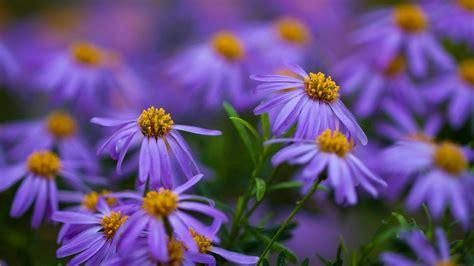 daisies purple yellow flowers desktop wallpaper hd