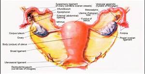 Ovarian  Uterine Anatomy At University Of Cincinnati