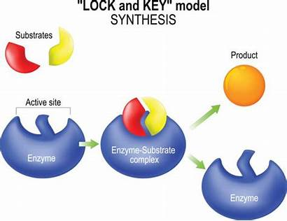Enzyme Clipart Lock Key Synthesis Lysosome Vector