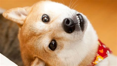 Doge Dog - Original Picture Alternate Cheems Doge Doge ...