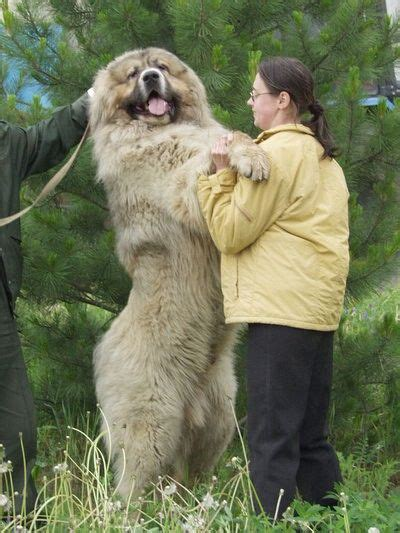 die besten  kaukasischer hund ideen auf pinterest