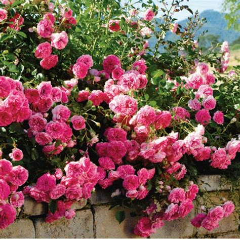 easy care roses 131 best images about quot shrub roses polyanthas grandifloras easy care roses quot on pinterest shrub