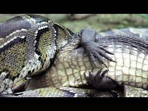 Python Snake Eats Live Alligator | Shocking Things