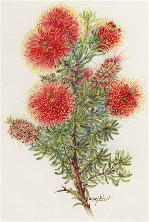 kunzea baxteri australian botanical illustration art