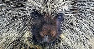~~Nails and Quills ~ Porcupine by Paul Keates~~   Animal ...