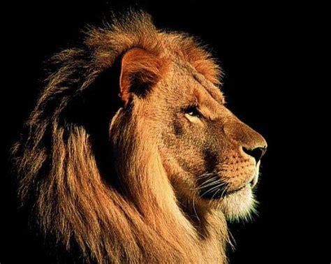 Die Besten 25+ Löwenbilder Ideen Auf Pinterest
